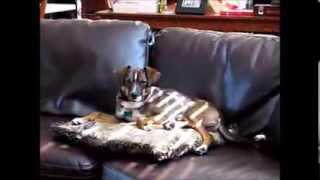 Ralphie - German Shepherd / Beagle Mix
