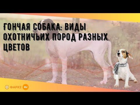 Гончая собака: виды охотничьих пород разных цветов