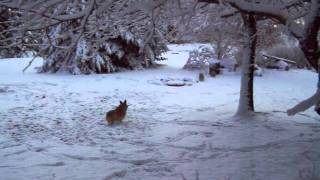 Three Corgi Dogs In The Snow