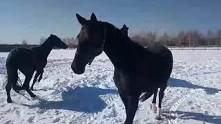 Лошади, ПХ Олимпия, русская верховая порода. ПАТРИЦИЯ, ПАТЮША, ПАТЯ