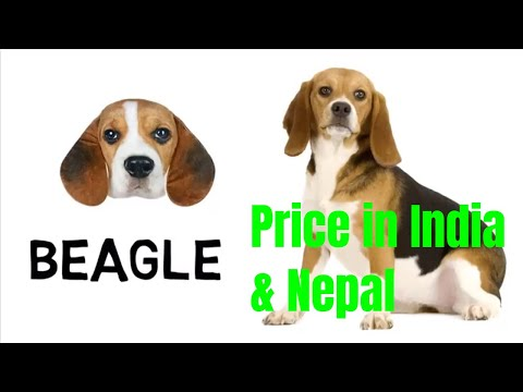 Beagle Price and Breed Information