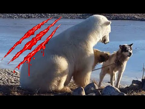 Dog-petting polar bear ate sled dog hours after cute viral video; Bear mauls deer - Compilation