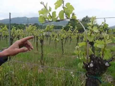 Viticulture 233 Pamprage Et 233 Bourgeonnage Youtube