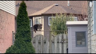 Raccoon Mother Stands Her Ground  Unbelievable Footage!