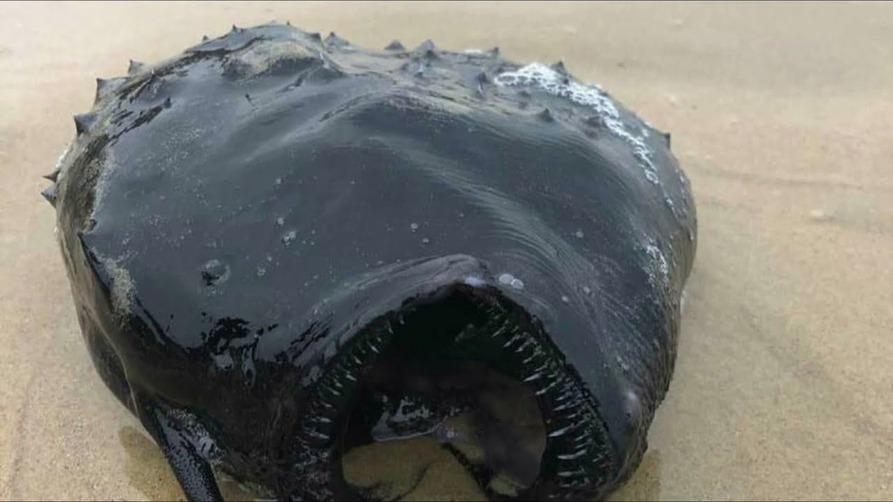 'Strange and fascinating' deep-sea fish washes up on Calif. beach