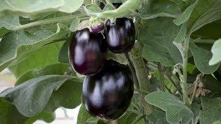 видео Баклажаны на балконе выращивание