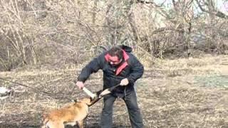 Дрессировка. Бельгийская овчарка. Защита.(, 2016-03-14T13:19:35.000Z)