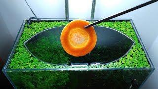 24th Month – (Carrot Feeḋing Frenzy) NO filter, NO CO2, NO Ferts 5 Gallon Nano Tank