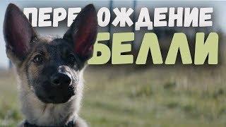 Собачья жизнь - Перерождение Белли у полицейскую собаку