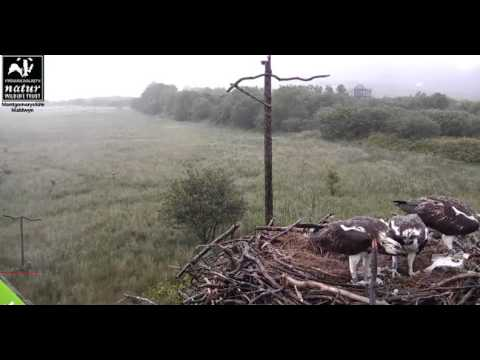 It is raining fish at Dyfi nest 26072015 1925