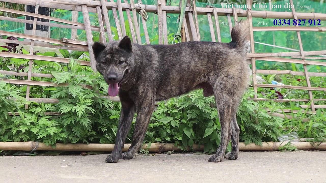 Chó H'Mông Cộc Đuôi: Cá thể chó vện đực hoang dã còn sót lại trên bản Mông/Việt Nam Chó bản địa