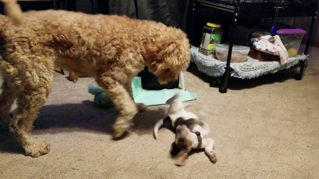 Beagle and labradoodle at play