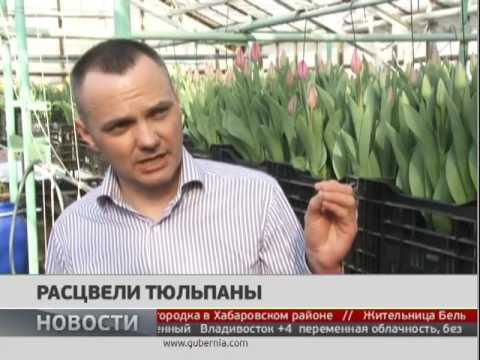 Тюльпаны Tulipa Triumf Grp enkel 'Fun for Two' купить в Минске .