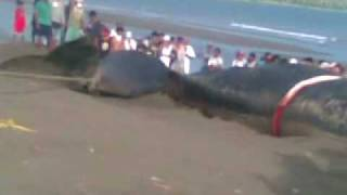 Sperm Whale in Occidental Mindoro 18