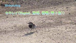 セキレイ(Wagtail、鶺鴒、鶺䴇(零+鳥))