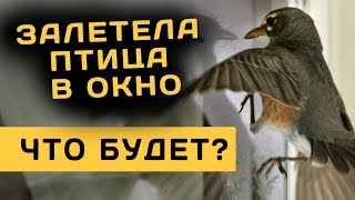 видео Птица залетела в дом