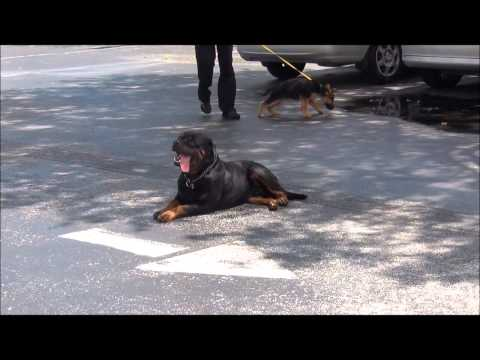 Rottweiler Dog Training K9 Enforcement Training Academy