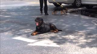 Rottweiler Dog Training K9 Enforcement Training Academy