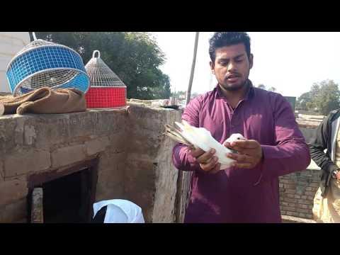 SUKBEER SINGH S/O MUKAND SINGH. With pigeon punjabi farid court rod machakhi pind by Nishar pigeon c