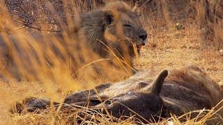 Lions vs Hyenas | BBC Earth