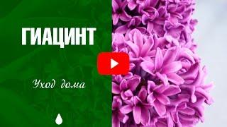 видео Комнатный цветок гиацинт, посадка и уход в домашних условиях