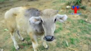 The cow and me - මී හරක් පැටව්ගේ  සහ කුළු හරක් පැටව්ගේ වෙනස...