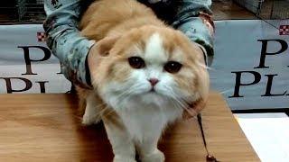 Ми-ми-шный Котик - Ну ОЧЕНЬ Милая Шотландская Вислоухая Кошечка Няшка | ПОРОДЫ КОШЕК