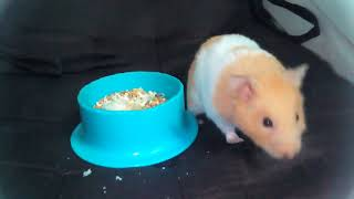 Meet my pet hamster name luke