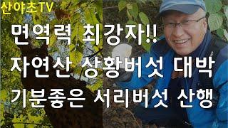 면역력과 숙취해소에 최고 자연산 상황버섯 대박산행과 기…