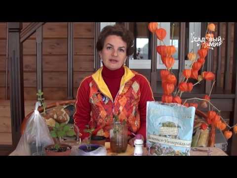 Как укоренить черенок розы осенью