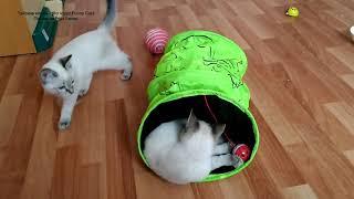 Как два тайских котёнка Линда и Лукас играли в туннеле! Тайские кошки   это чудо! Funny Cats