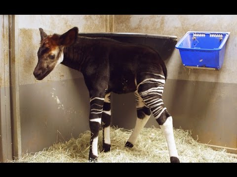 Okapi Calf Bursts with Excitement