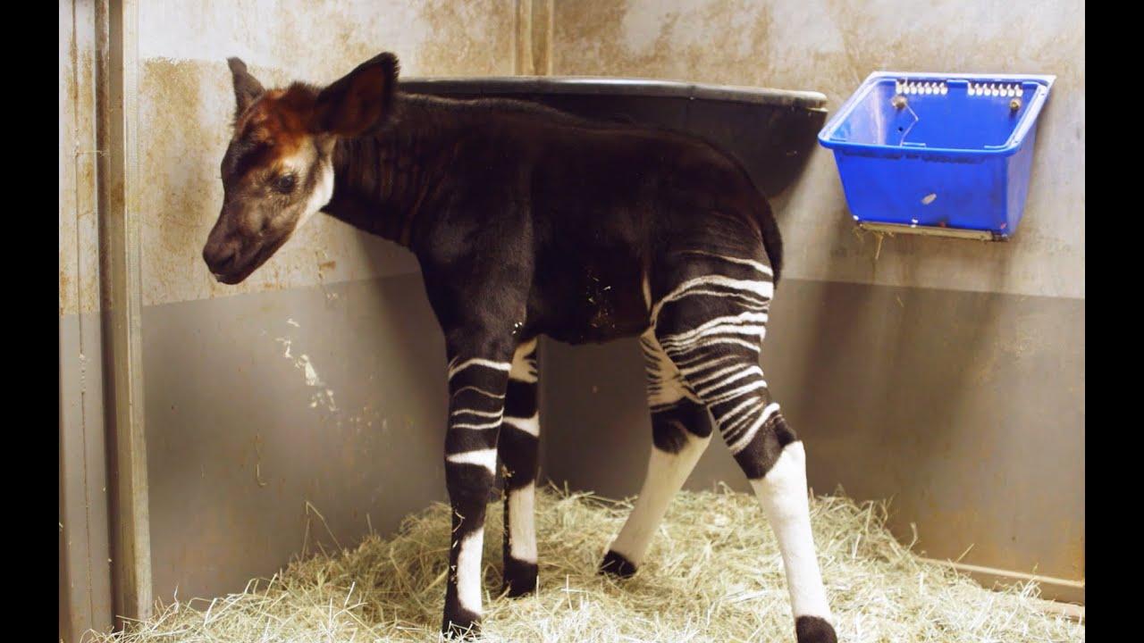 Okapi Calf Bursts With Excitement Youtube