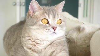 Шотландская прямоухая кошка /Скоттиш страйт / Scottish cat / Scottish Straight