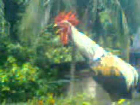 Ayam ketawa  Paijo