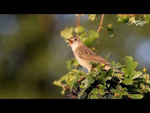 SJÆLDENT SYN: Græshoppesangers fascinerende sang