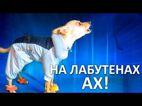 Суперклип! Собака поёт Лабутены. Звёздный той-терьер Чарли зажигает ))