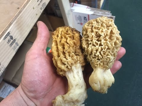 Missouri River Morel Mushroom Hunt - Kansas Gold