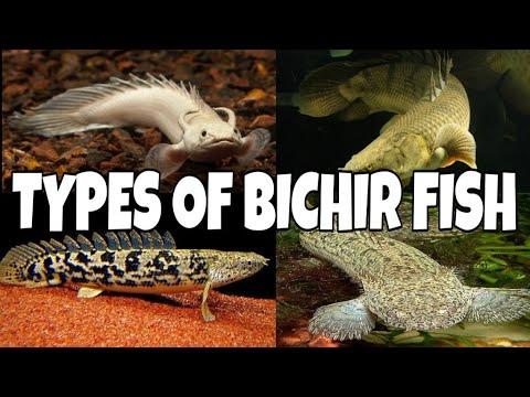 Types Of Bichir Fish