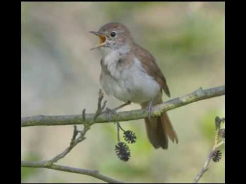 NIGHTINGALE SONG-4 hours REALTIME Beautiful Nightingale Singing,Birdsong,Nature sounds,part 2.