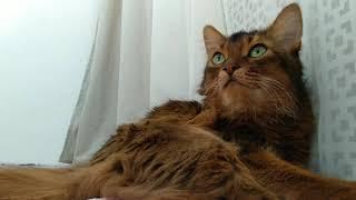 Time- lapse somali cat. Кот Сомали .