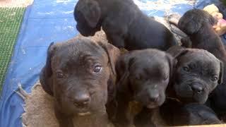О породе, собака кане-корсо, смотреть фильмы  про  породу собак кане-корсо щенки 5 недель