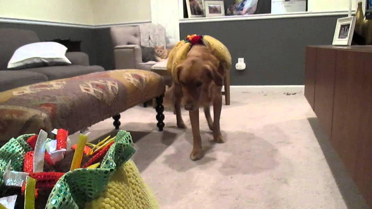 puppy halloween costumes golden retrievers | bay and mesa - youtube