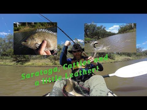 Saratoga, Catties and Leathery Grunter in the Dawson River system