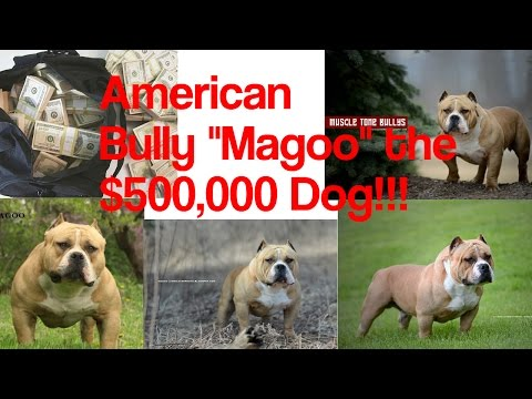 """Magoo"" The $500,000 American Bully!!!!"