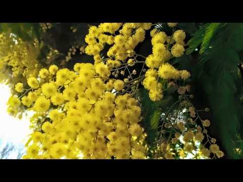 Весенние цветы #мимоза