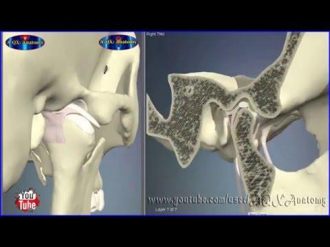 Temporomandibular Joint / TMJ | 3D Human Anatomy | Organs