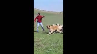 Кавказские овчарки в горах. Fierce Caucasian dogs!