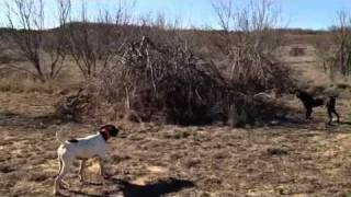 Guided Hunt - Willow Creek Kennels - Gsp