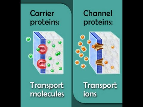 Carrier Proteins Vs Channel Proteins - YouTube